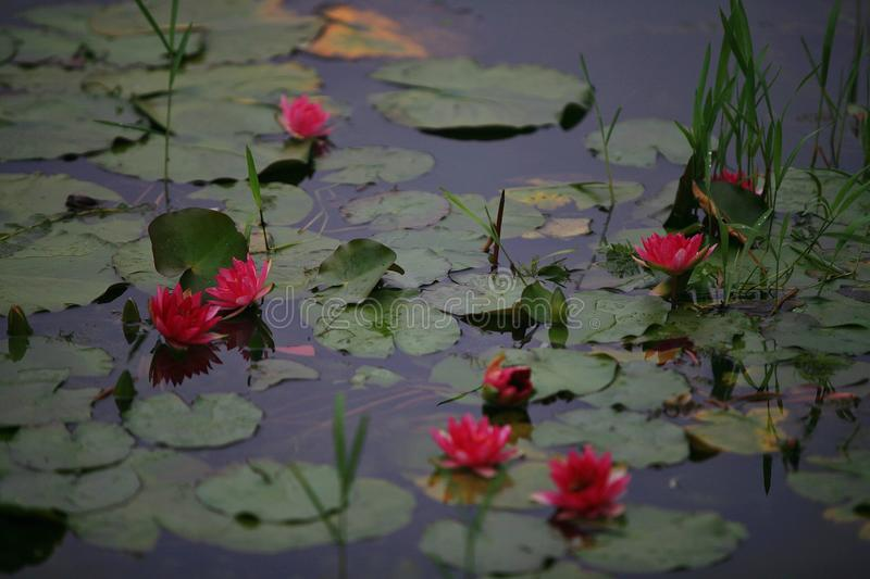 Water lilies royalty free stock photography