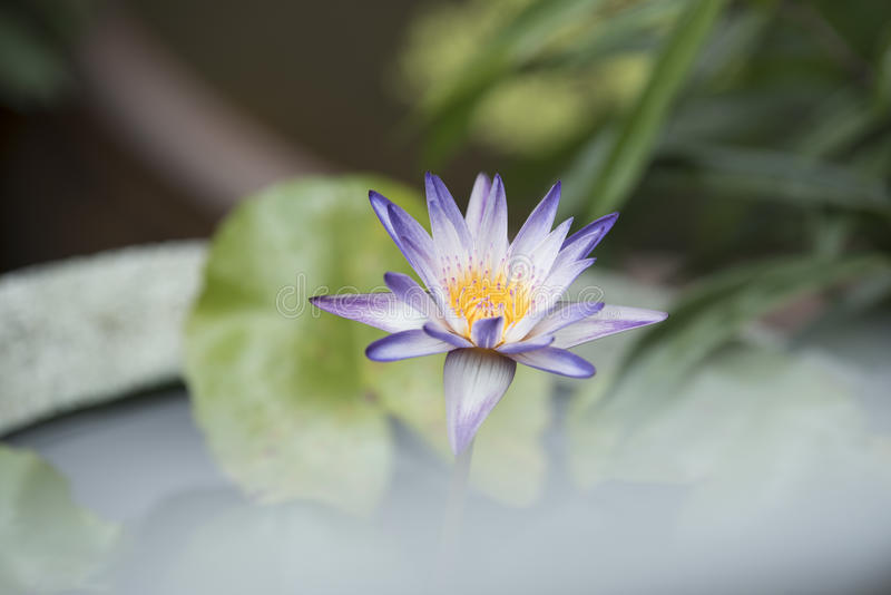 Water lily photographed in natural light. Colorful of purple water lily on Natural background royalty free stock photos