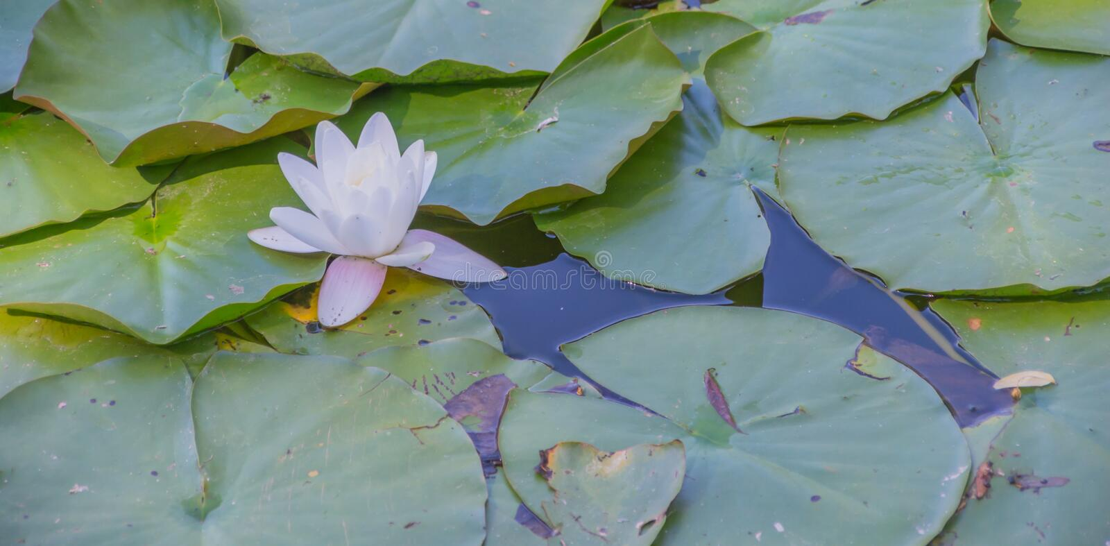 Water lily in nature stock photos