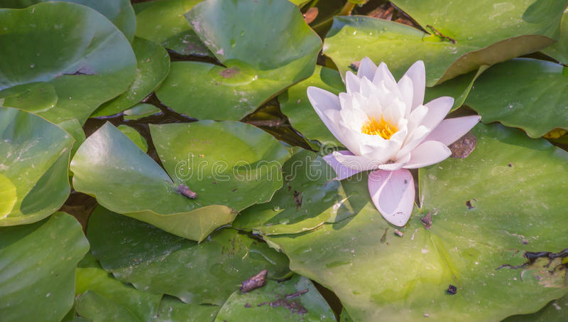 Water lily blooming royalty free stock photo