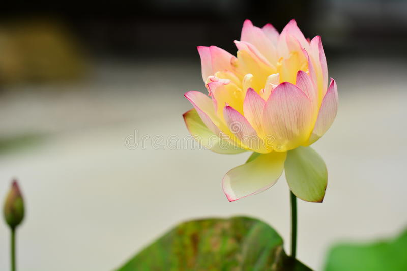 Water Lily Pink royalty free stock images