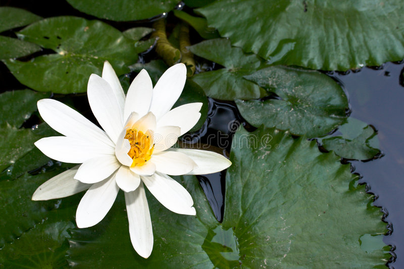 Download Water Lily In Pond Royalty Free Stock Photos - Image: 5541178
