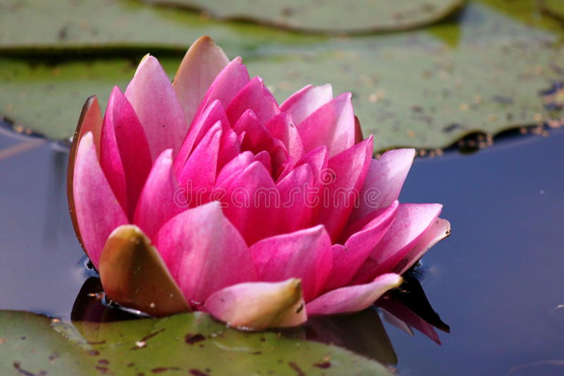 Water lily in pond royalty free stock images