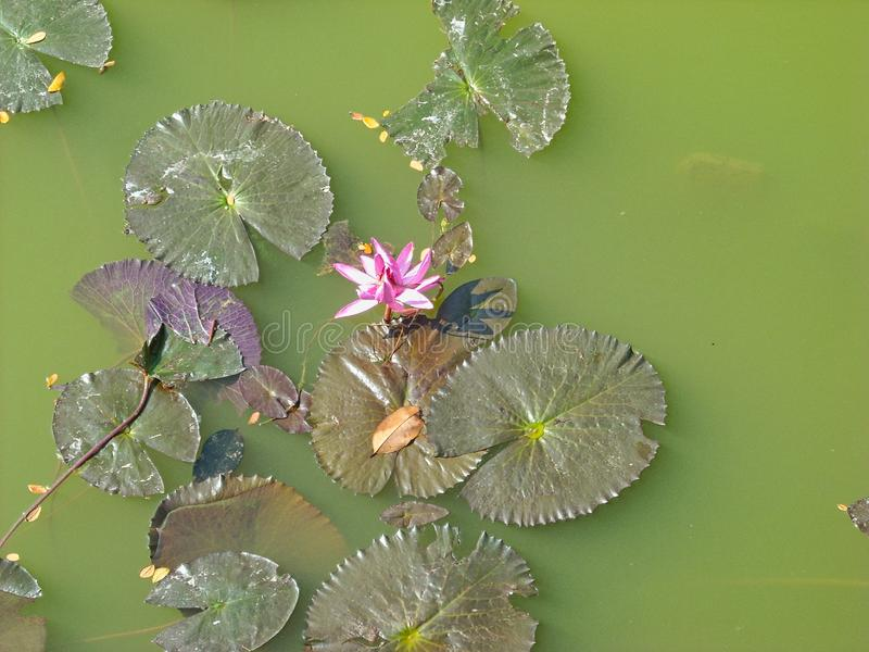 a water lily in a pond royalty free stock photography