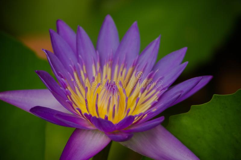 Water lily. Purple water lily blooming royalty free stock image