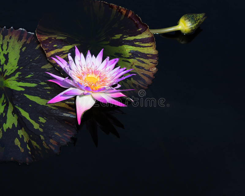 Water Lily 1 stock image