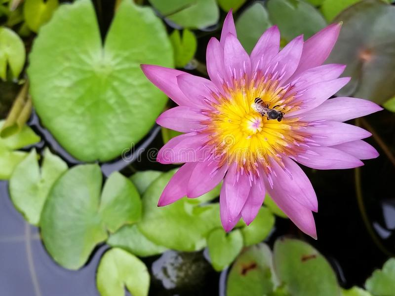 Water lily. Purple water lily in the pond royalty free stock images