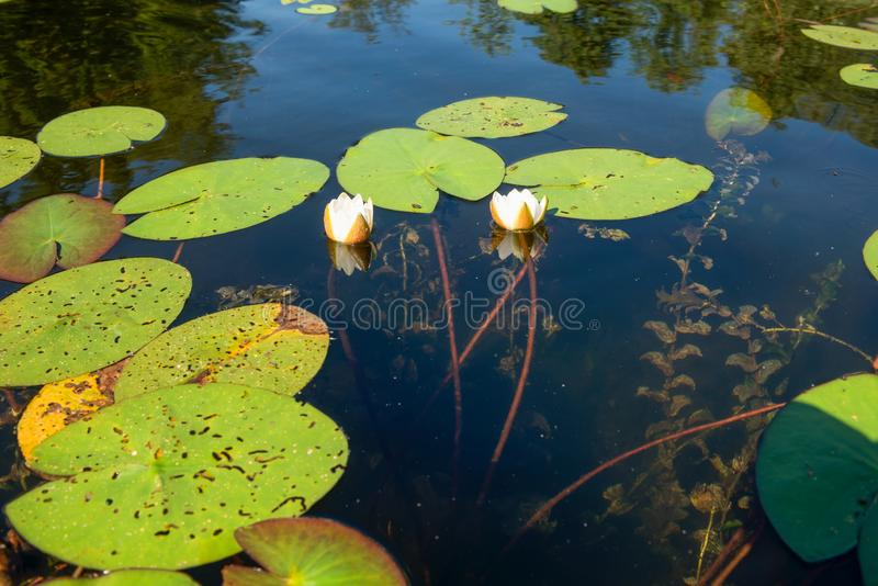 Water lily. Roots surface.  flower. Tree root pattern. Tree roots. Lotus blossom. Herbal plant stock image