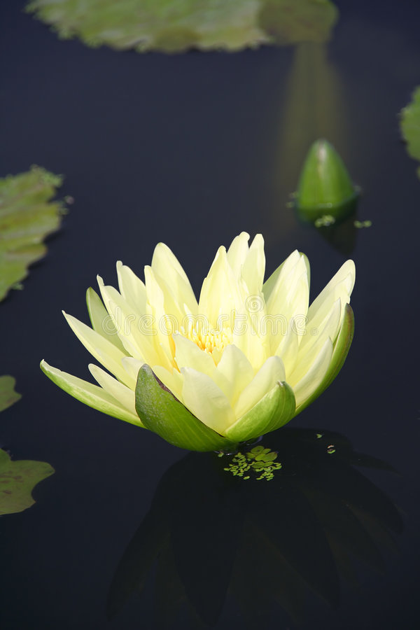 Download Water Lily And It's Reflection Stock Image - Image: 4162969
