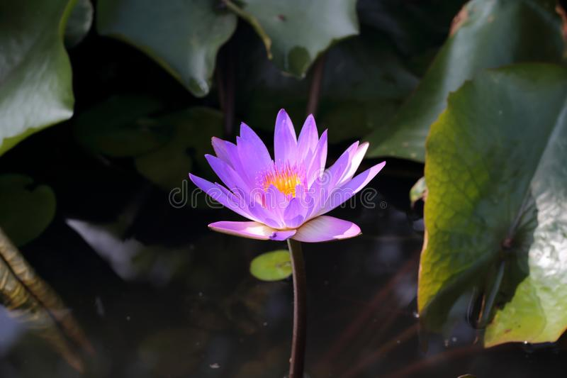 Water lily in Siem Reap. A violet water lily in Siem Reap in Cambodia royalty free stock image