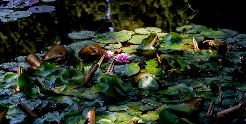 Water lily sunbathing in the morning stock images