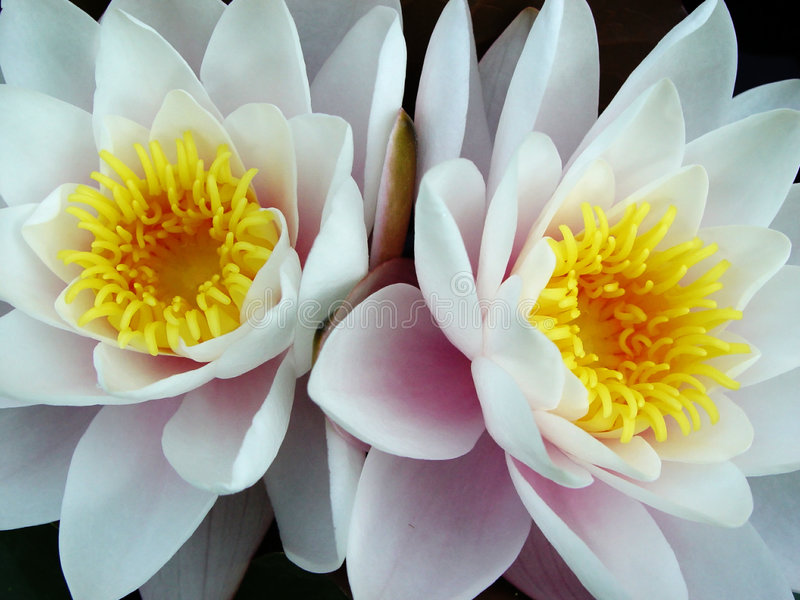 Download Water lily twins stock image. Image of lily, leaves, flowers - 44123