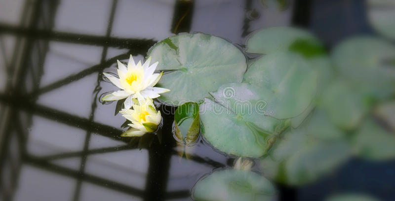 Water lily. Two water lilies floating in water near a group of leaves of the same plant, lilies growing in a botanic park in toluca mexico called cosmovitral royalty free stock photo