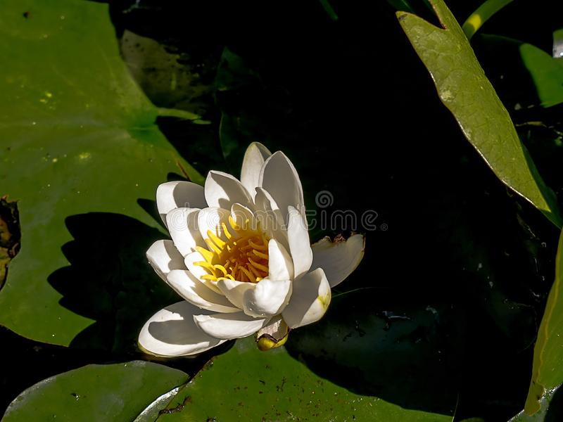 Water lily in a very small pond in Northern England. This plant arrives in its summer coat every year in my little pond stock photo