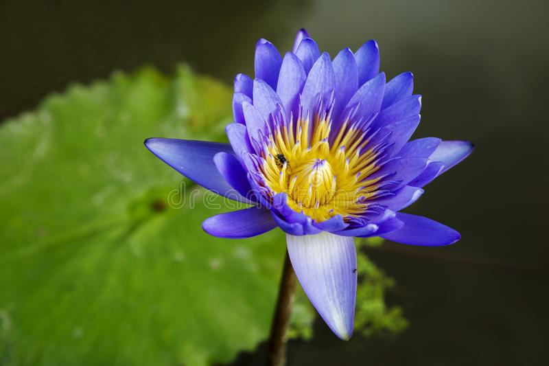 Water lily. Water Lily is a charming and delicate water Lily. Flower stems are immersed deep under water in the ground. It has about 40 species, most of which royalty free stock images