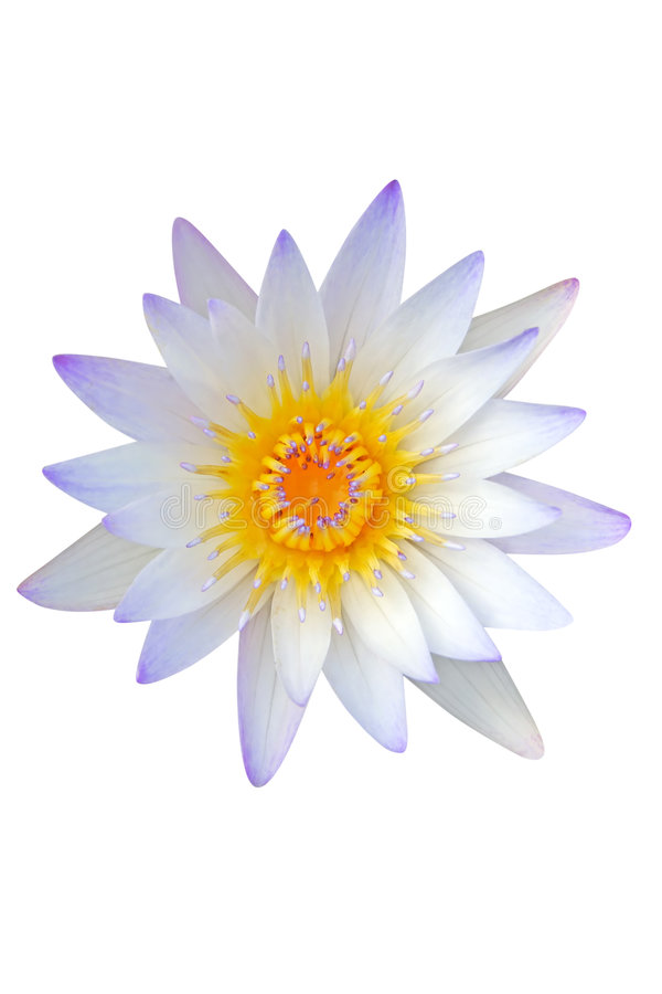 Water lily on white background stock photo