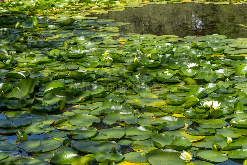 Water Lily. White Water Lilies on a lake stock image