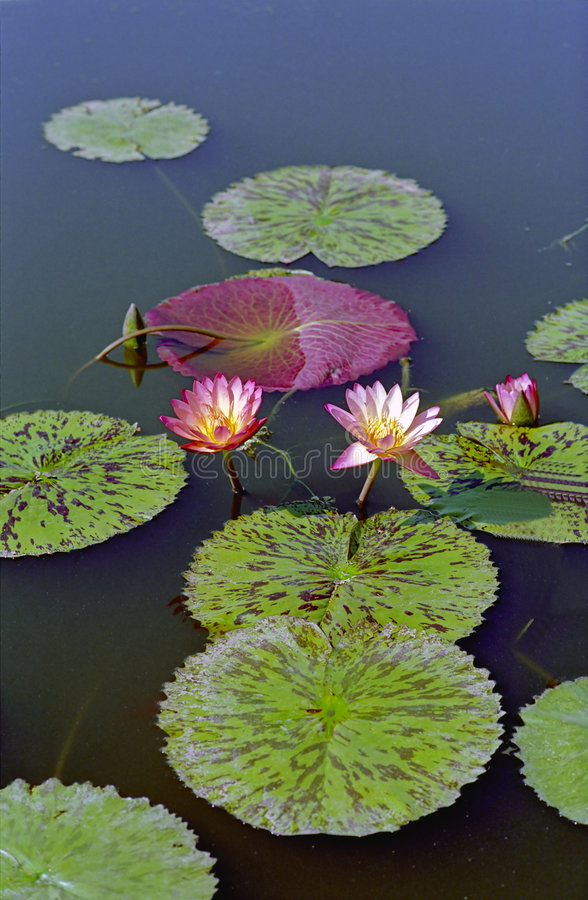 Water Lilys. At the Bronx Botanical Gardens stock image