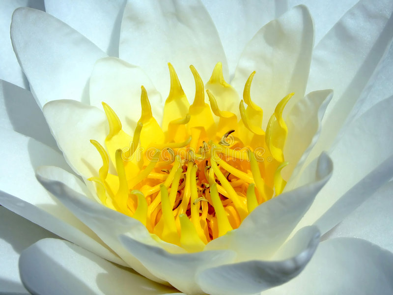 Download Water lotus stock image. Image of flora, bloom, white - 2881947