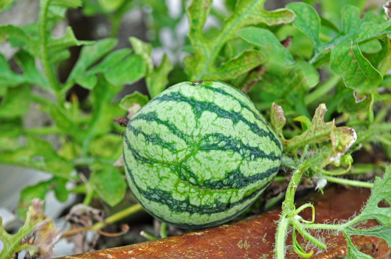 Download Water Melon Stock Photo - Image: 14391380