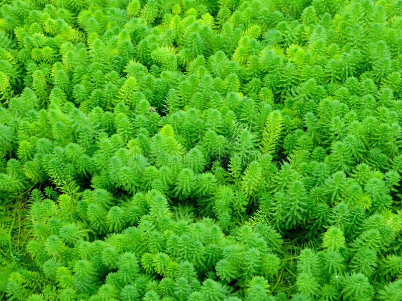 Water milfoil royalty free stock image