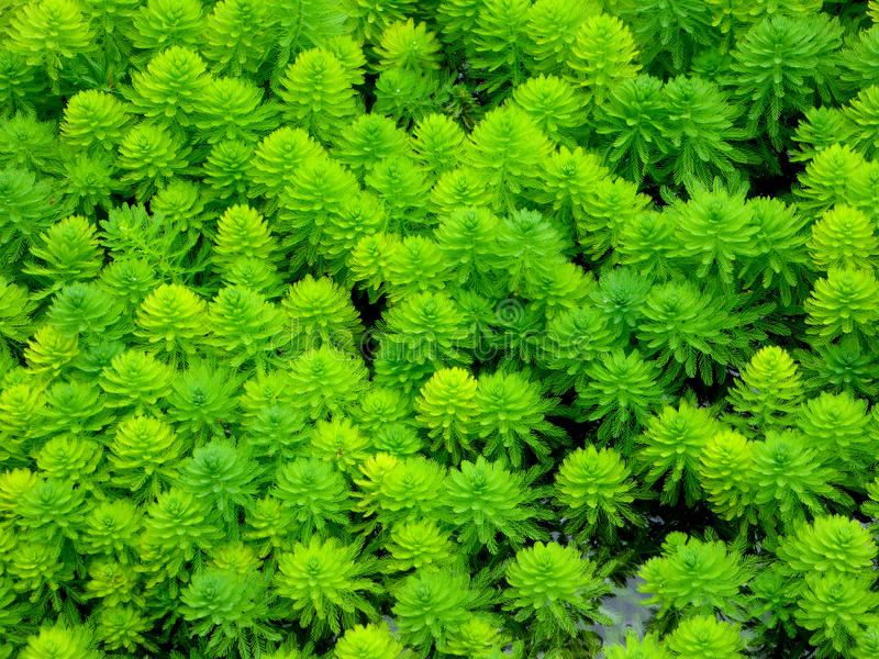 Water milfoil royalty free stock images