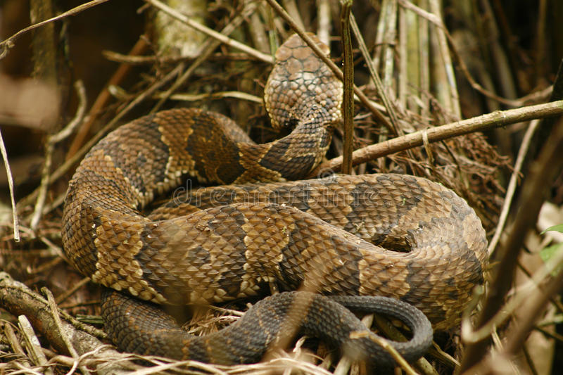 Water moccasin or cottonmouth snake in south Florida. A water moccasin, also known as a cottonmouth, snake in a swamp in south Florida. It is a pit viper, with stock photography
