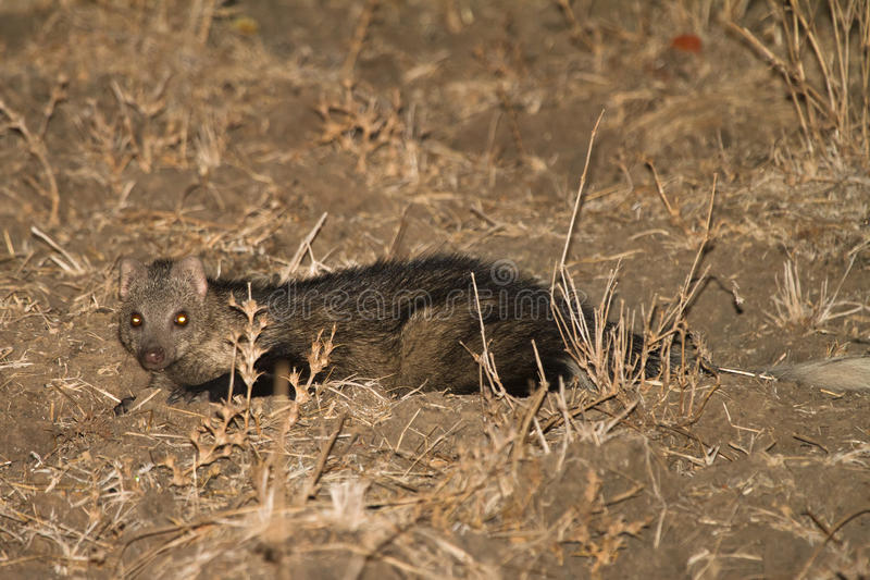 Water Mongoose. (Marsh Mongoose), night safari South Luangwa, Zambia Africa stock photos