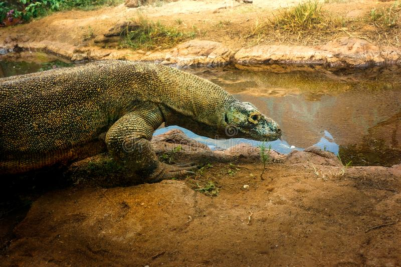 Monitor Lizard outdoors enters pond royalty free stock images