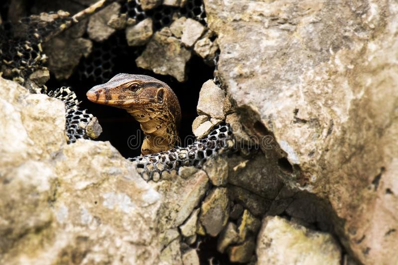 Water monitor lizard in the stone, Varanus salvator, Thailand. Water monitor lizard in the stone, Varanus salvator, Thailand, Asia royalty free stock photography