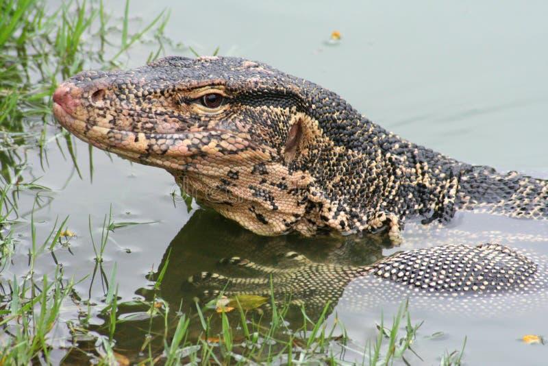 Water monitor lizard, Varanus salvator. royalty free stock photography