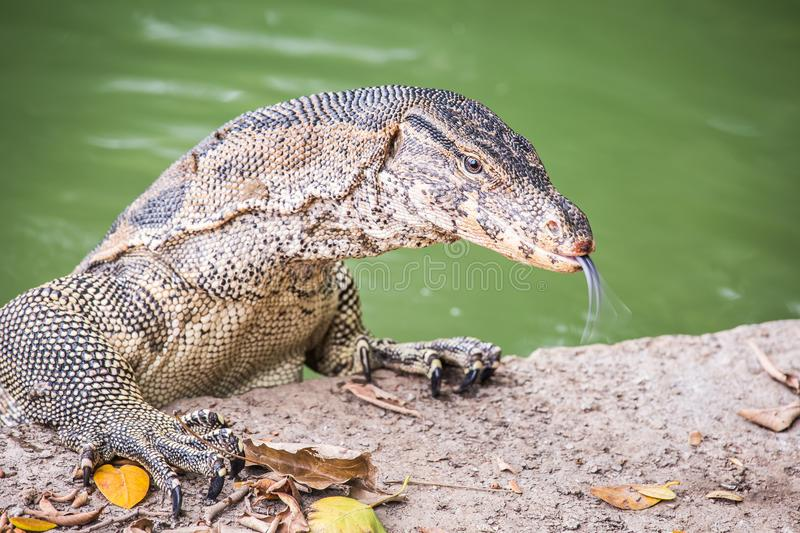 Water monitor lizard varanus salvator royalty free stock images