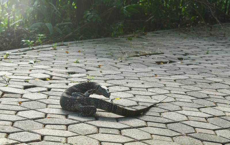 Water monitor lizard or Varanus salvator walking on footpath in park royalty free stock photography