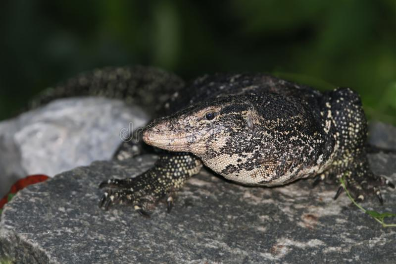 Water monitor sits on the rock stock photos
