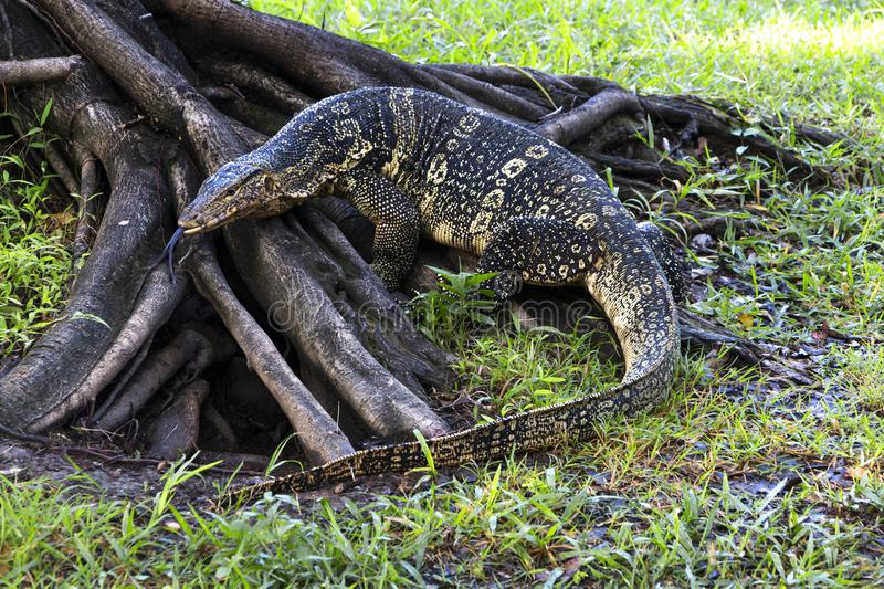 The water monitor or Varanus salvator is a large species of monitor lizard. Showing its split tongue stock images