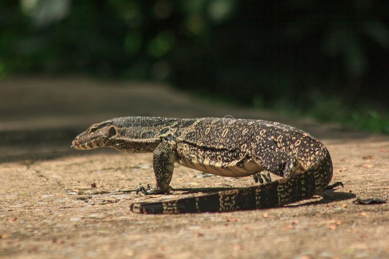 Water Monitor walking on the floor. Water Monitor  walking on the floor. Is a reptile in Southeast Asia stock photo