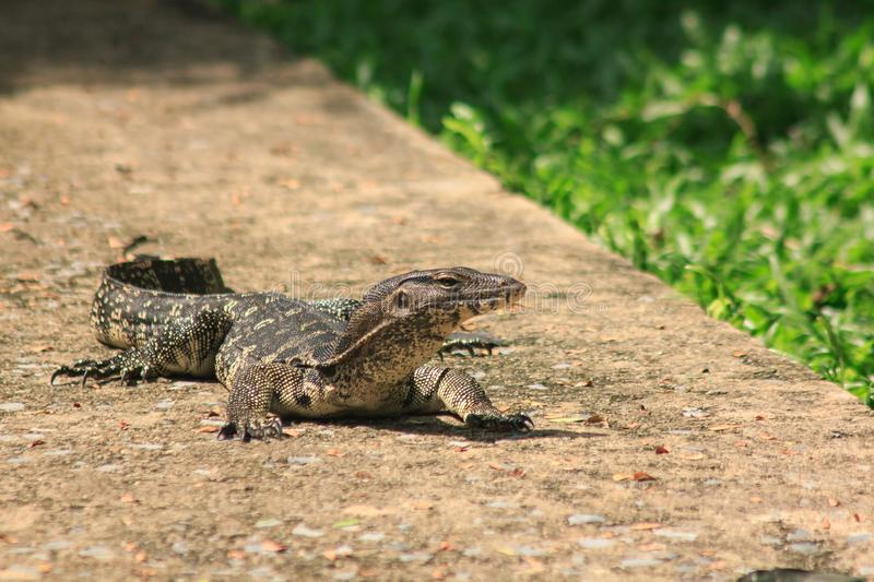 Water Monitor walking on the floor. Water Monitor  walking on the floor. Is a reptile in Southeast Asia royalty free stock photography