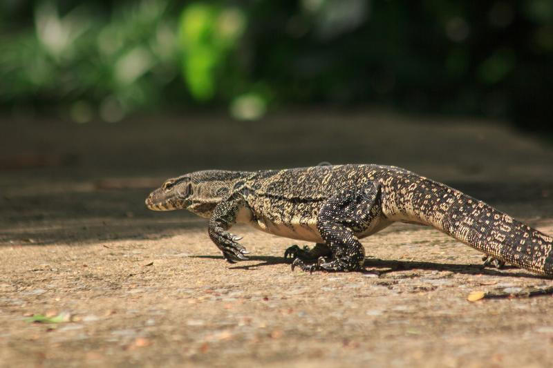 Water Monitor walking on the floor. Water Monitor  walking on the floor. Is a reptile in Southeast Asia royalty free stock photos