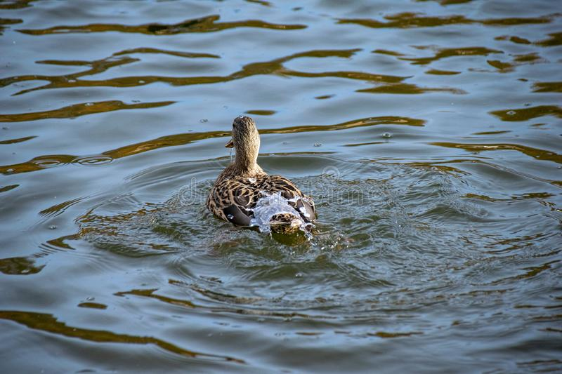 Water off a ducks back. Female mallard duck surfaced from a dive with lake water flowing off feathers royalty free stock image
