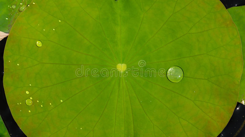 Water op lotusbloemblad stock foto's
