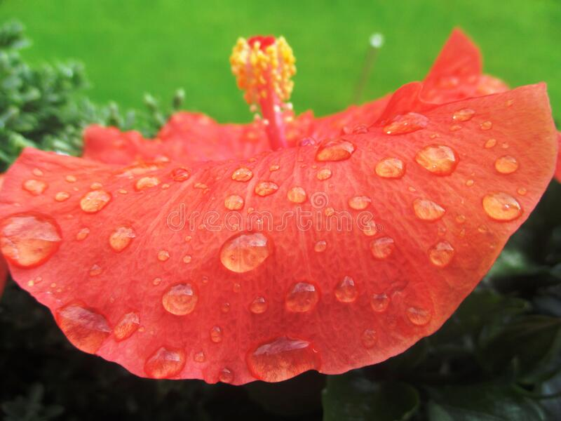 Water on orange hibiscus flower royalty free stock photo