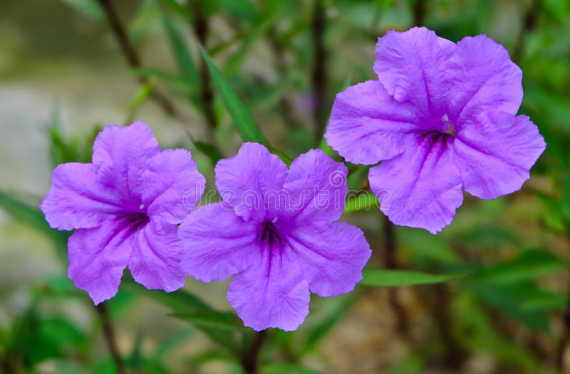 Water petunia royalty free stock image