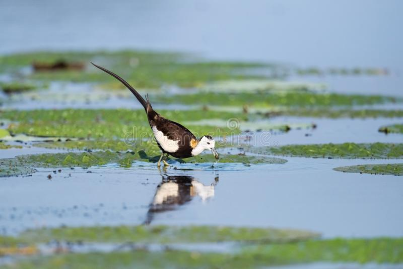 Water pheasant bird. In summer pond, pheasant-tailed jacana royalty free stock image