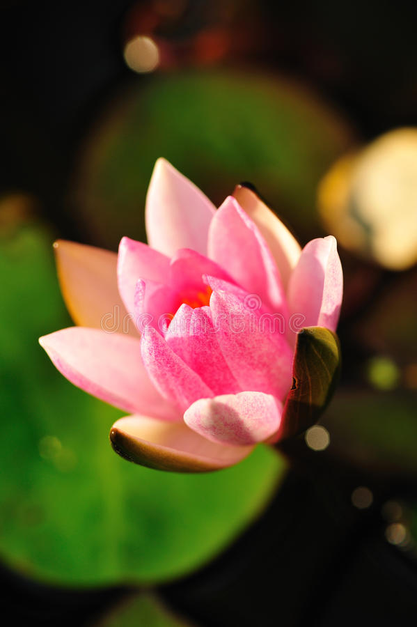 Water Pink Lily Stock Photo