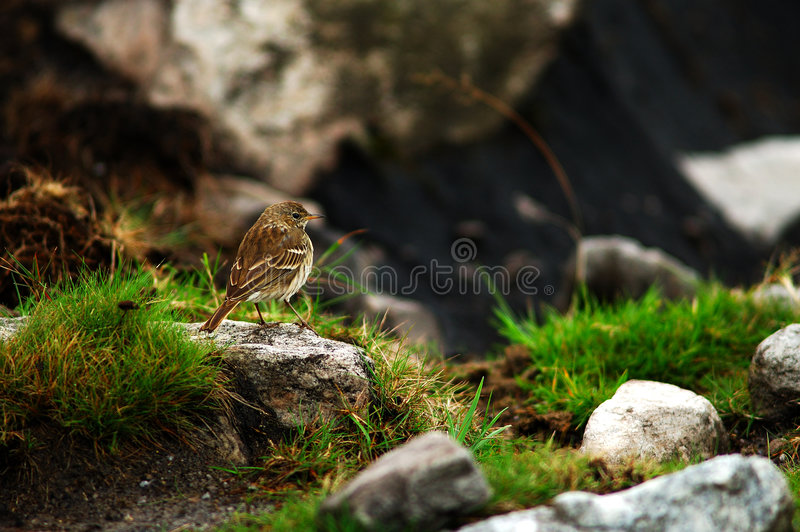 Download Water pipit stock image. Image of mountain, wild, meadow - 502381