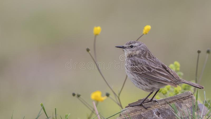 Water Pipit on Wooden Log. Water pipit, Anthus spinoletta, perches on wooden log among flowers stock image