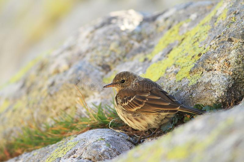 Water pipit in mountain stock photo
