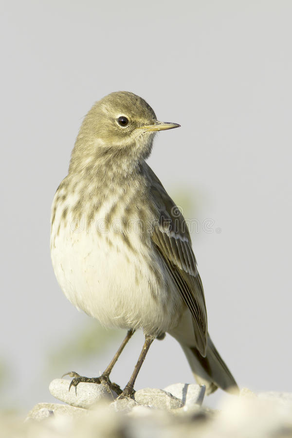 Water pipit in natural habitat - close up / Anthus spinoletta royalty free stock photography