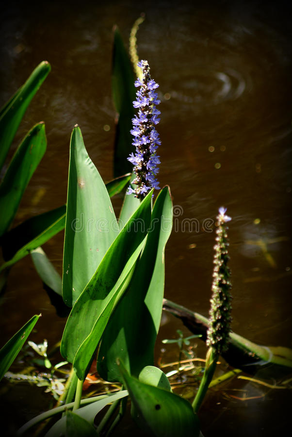 Water plant and flower royalty free stock image