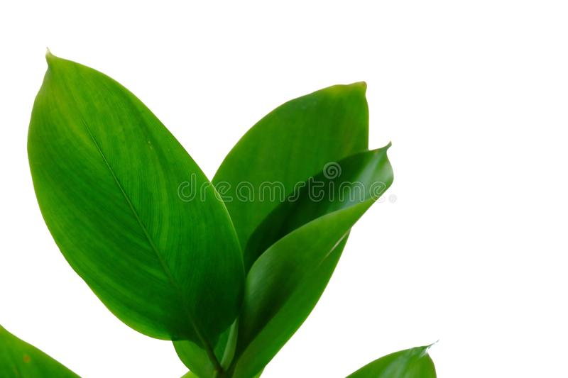 Water plant leaves with branches on white isolated background for green foliage backdrop. Waterside tropical tree leaves branches white isolated background green royalty free stock images